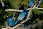 Pinyon jays perched in mountain mahogany tree, autumn.