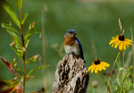 Eastern bluebird, male, perched in meadow habitat with black-eyed susans
