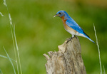 Eastern bluebird, male, perched in meadow habitat, with insect