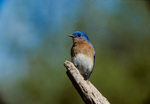 Eastern bluebird, male, perched
