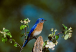 Eastern bluebird, male, perched in apple tree, spring