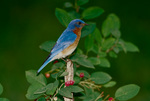 Eastern bluebird, male, perched in serviceberry tree, early summer