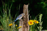Eastern bluebird, female, perched in meadow habitat with coreopsis