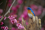 Eastern bluebird, male, perched near redbud tree, spring