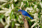 Eastern bluebird, male, perched in wild cherry tree, summer