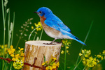 Eastern bluebird, male, perched in meadow habitat