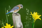 Eastern bluebird, female, perched in meadow habitat with day lilies in bloom