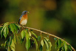 Eastern bluebird, male, perched, with insect in bill