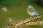 Eastern bluebird, female, perched