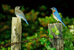 Eastern bluebird, male with fledgling