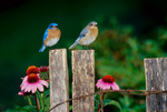 Eastern bluebird, male and female, perched on fence with purple coneflowers