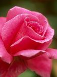 Rose-Carefree Beauty