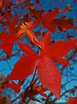 Red Sweetgum Leaf, Liquidambar styraciflua