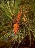 Ponderosa Pine Needles Pinus ponderosa