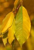 Bitternut Hickory Leaf Carya cordiformis