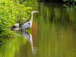 Great Blue Heron Reflected in a Freshwater Marsh, Ardea herodias