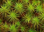 Juniper Polytrichum Moss, Juniper Hair Cap, Polytrichum juniperinum
