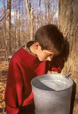Boy looking into Maple Sugar Pail
