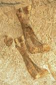 Apatosaurus Thigh Bone Fossils, Dinosaur National Monument, Utah