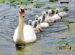 Mute Swan and Babies Swimming, Cygnus olor