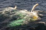 Humpback whale mouth and gulls Megaptera novaeangliae