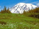 Mount Rainier and Avalanch Lilies from Paradise Meadows, Mount Rainier National Park, Washington