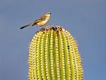 Northern Mockingbird on Saguaro Cactus, Mimus polyglottos