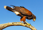 Harris's Hawk Feeding, Parabuteo unicinctus