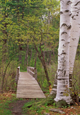 Wooden Boardwalk and Birch Tree, Pleasant Valley Wildlife Sanctuary, Mass Audubon, Berkshires, Lenox, Massachusetts