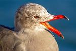Heermann's Gull Vocalizing, Larus heermanni