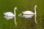 Mute Swans and Baby Cygnet, Cygnus olor