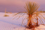 Yucca and Sand Dunes at sunset, White Sands National Monument, New Mexico