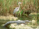 Great Blue Heron and Alligator, Anhinga Trail, Florida Ecosystem, Everglades National Park, Florida