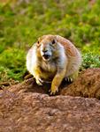 Black-tailed Prairie Dogs Socializing, Cynomys ludovicianus