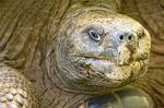 Alcedo Tortoise, Chelonoidis nigra vandenburghi