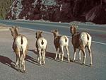 Bighorn Sheep watching for traffic