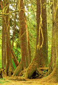 Colonnade on Nurse Log, Hoh Temperate Rainforest, Olympic National Park, Washington