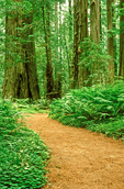 Trail Through Redwood Trees, Lady Bird Johnson Grove, Redwood National Park, California