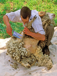 Sheep Shearing, Old Sturbridge Village, Sturbridge, Massachusetts