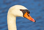 Trumpeter swans, Cygnus buccinator