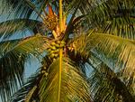 Coconut Palm Tree and Fruits, Cocos nucifera