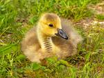 Canada Goose baby Branta canadensis