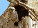 Eastern Screech Owl, Otus asio, Megascops asio