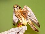 American Kestrel and handler Falco sparverius