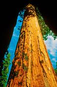 Sequoia Tree Framed, Congress Trail, Sequoiadendron giganteum, Giant Forest, Sequoia National Park, Sierra Nevada Mountain Range, California