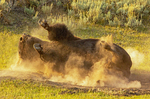 Bison Wallowing in Dirt, Bison Dust Bath
