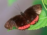 Red Rim Butterfly, Crimson-banded Black Butterfly, Biblis hyperia