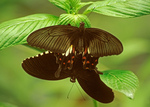 Mating Common Mormon Butterfly, Papilio polytes