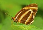 Banded Orange Butterfly, Banded Orange Heliconian, Orange Tiger, Dryadula phaetusa