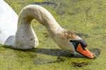 Mute Swan Feeding on Duckweed, Cygnus olor